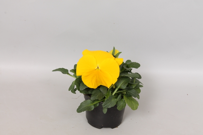 <h4>Viola wittrockiana F1 Yellow</h4>