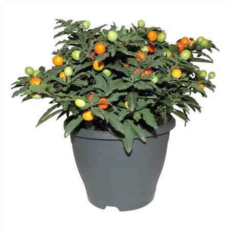 <h4>Solanum Pseudocapsicum Patiopot</h4>