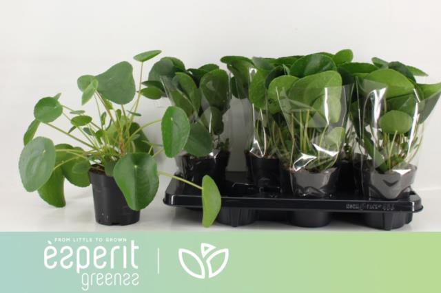 <h4>PILEA PEPEROMIOIDES</h4>