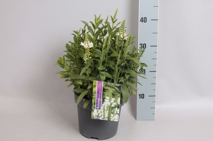 vaste planten 19 cm  Physostegia crystal peak white