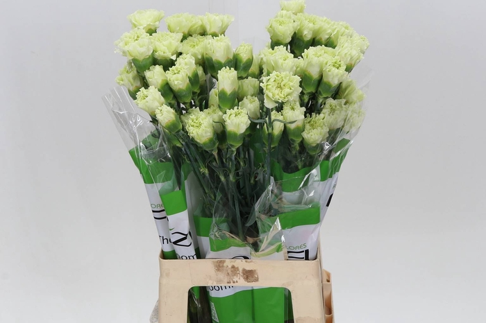 <h4>Anjer Funza Selva Green</h4>