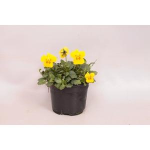 Viola cornuta F1 Yellow