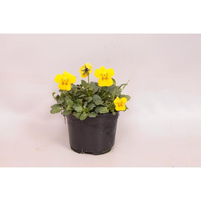 <h4>Viola cornuta sixpack F1 Deltini Yellow imp.</h4>