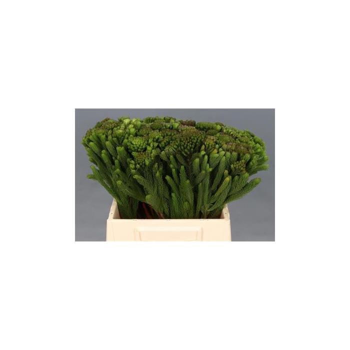 <h4>Albiflora 40 Cm P.bl</h4>