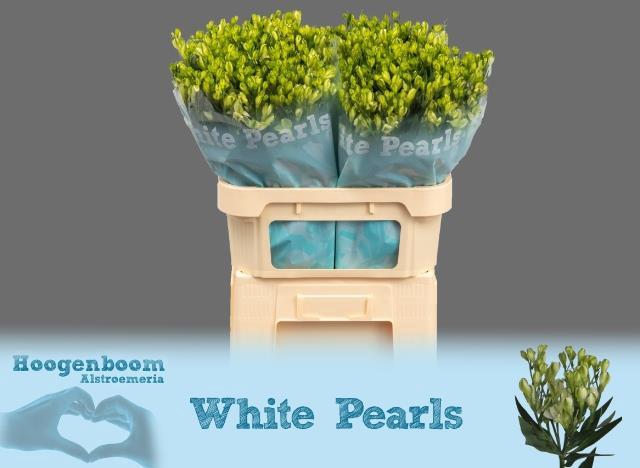 <h4>ALSTROEMERIA FLORINCA WHITE PEARLS</h4>