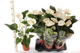 <h4>Anthurium White  Winner</h4>