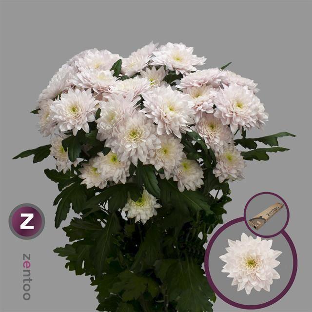 <h4>Chrysanthemum TR 'Pastela Rose'</h4>