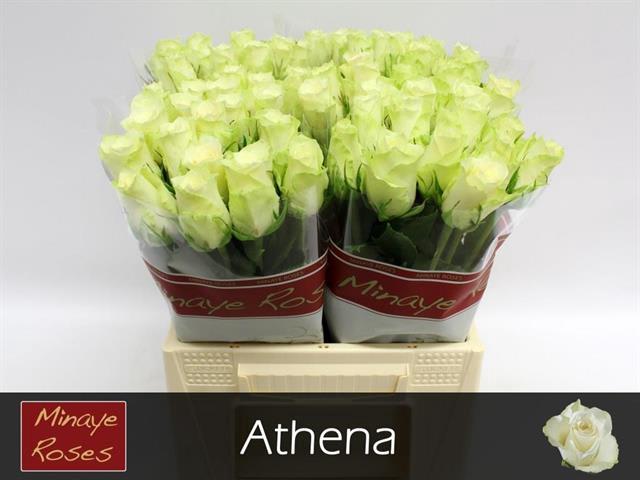 <h4>R GR ATHENA</h4>