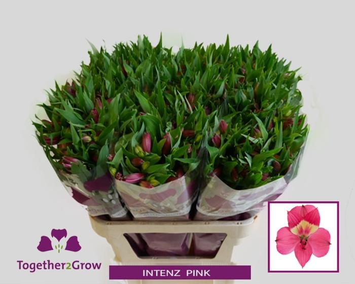 <h4>Alstroemeria Intenz Pink</h4>