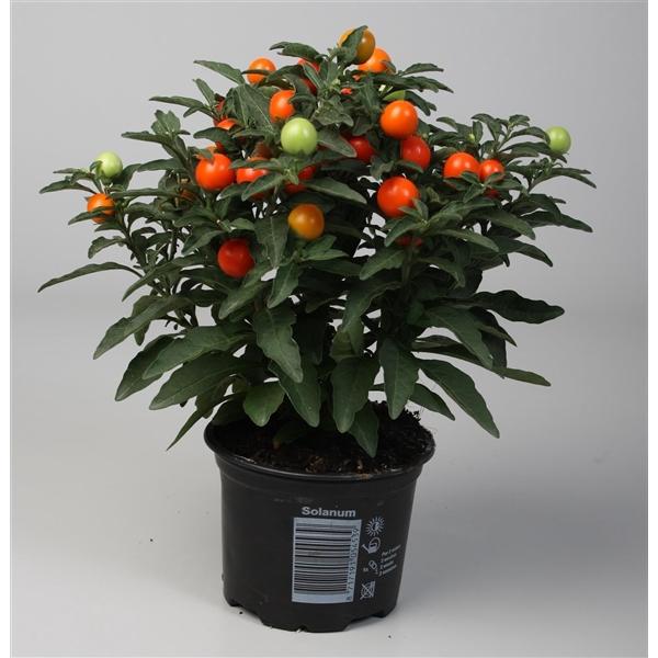 <h4>Solanum pseudocapsicum</h4>