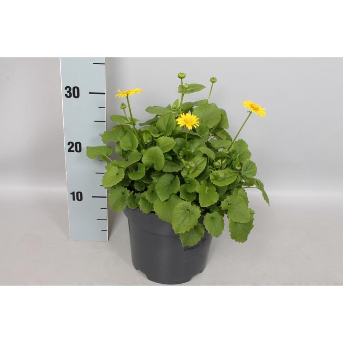 <h4>vaste planten 19 cm  Doronicum</h4>