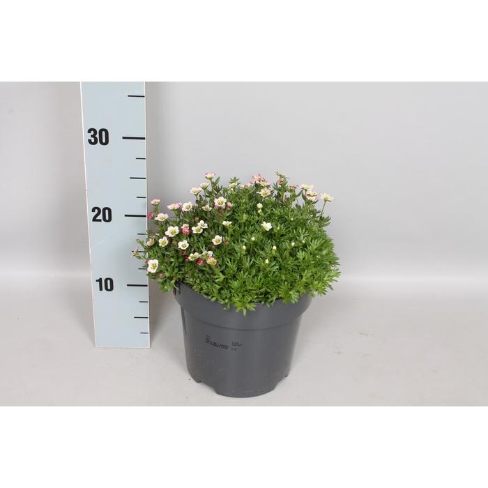 <h4>vaste planten 19 cm  Saxifraga Diverse</h4>