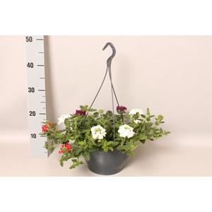 Hangpot 23 cm Verbena mix