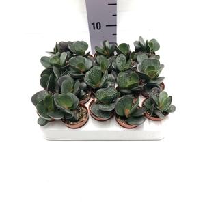 Adromischus trigynus 5,5Ø 8cm
