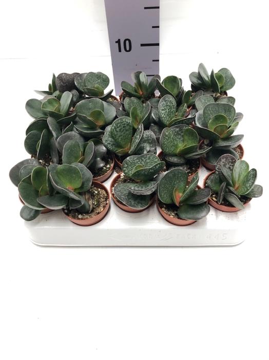 <h4>Adromischus trigynus 5,5Ø 8cm</h4>
