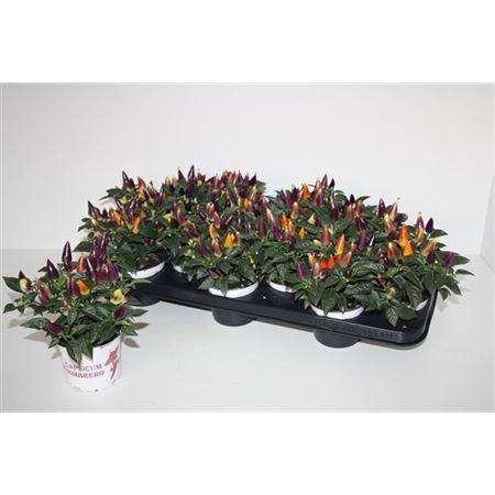 <h4>Capsicum Sombrero Multicolor</h4>
