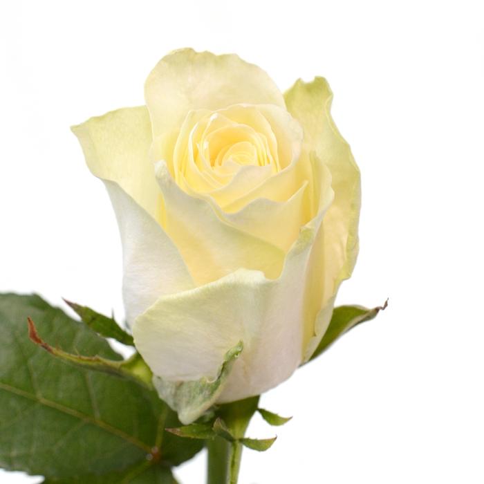 <h4>Rose Athena</h4>