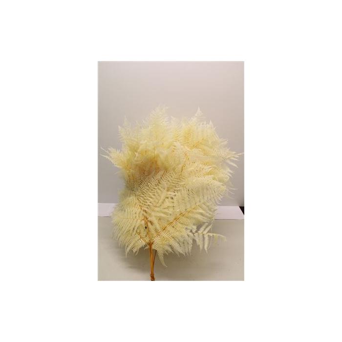 <h4>DRIED FLOWERS - ADELAARSVAREN BLEACHED</h4>