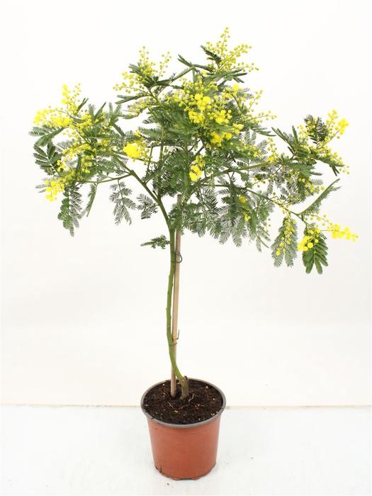 <h4>Acacia Mimosa Daelbata Stem</h4>