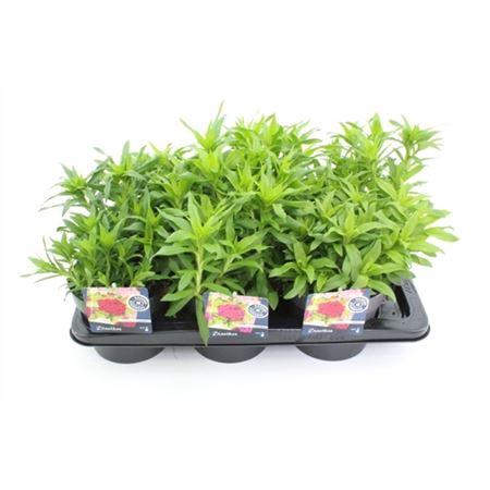 <h4>Dianthus Barb. Barbarini Gemengd</h4>