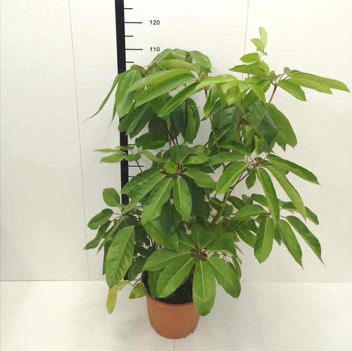 <h4>schefflera actinophylla M17</h4>