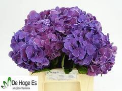 <h4>Hortensia Hyd. Harlekijn Blue/White</h4>