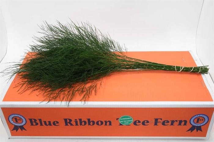 <h4>Asparagus Treefern X30 (P. Bos) X5</h4>