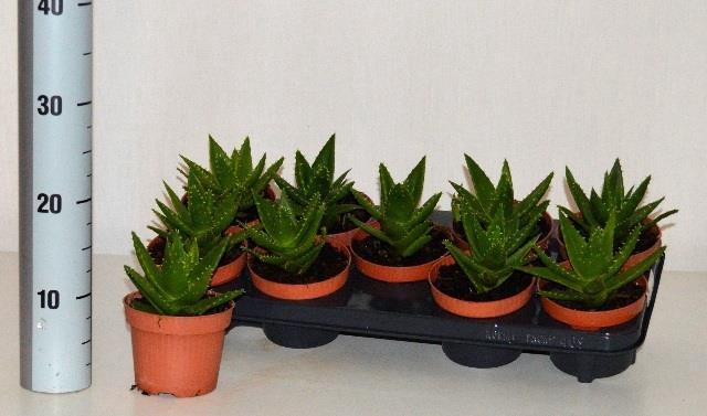 <h4>Aloe Perfoliata 12Ø 18cm</h4>