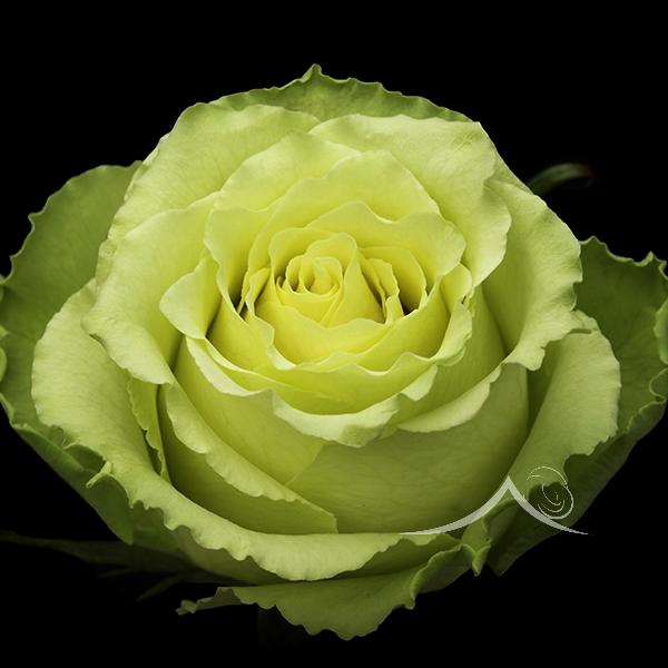 <h4>R Gr Lemonade Green 50cm EC</h4>