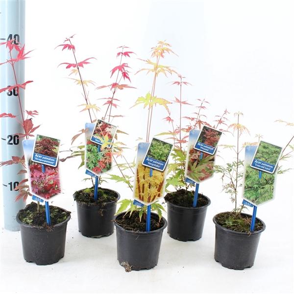 <h4>Acer palmatum in soorten (minimum order one layer)</h4>