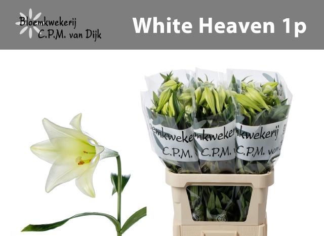 <h4>LI LF WHITE HEAVEN</h4>