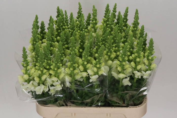 <h4>Antirrhinum Poto Ivory White</h4>