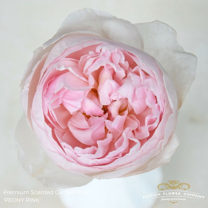 <h4>R GR SCENTED PEONY PINK</h4>