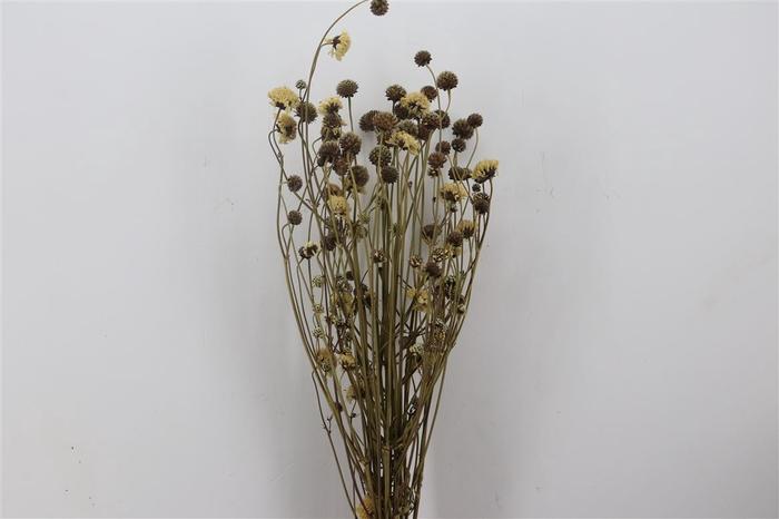 <h4>Dried Chephalaria Naturel</h4>