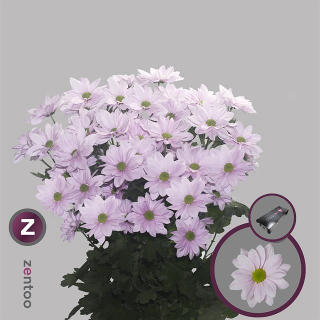 <h4>Chrysanthemum TR 'Softone'</h4>