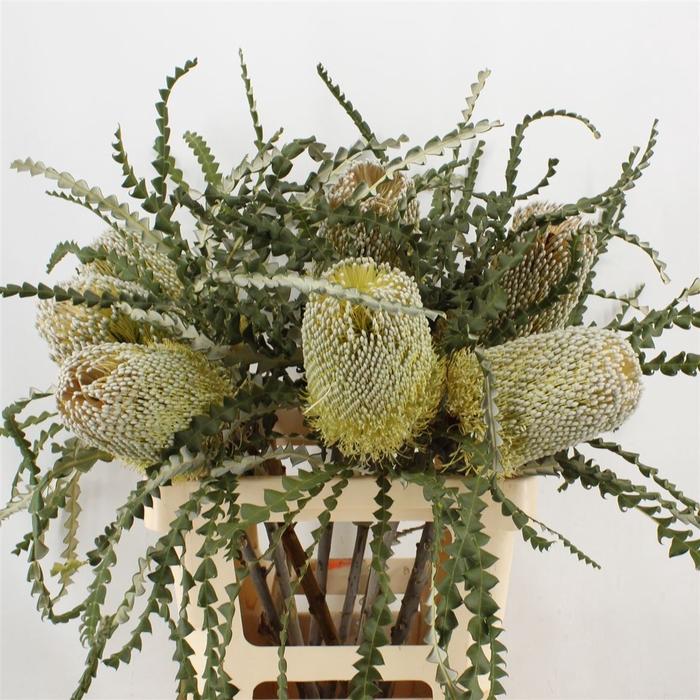 <h4>Banksia Speciosa</h4>