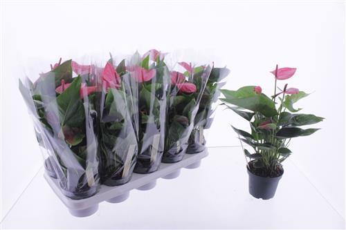 <h4>Anthurium Sweet Dream</h4>
