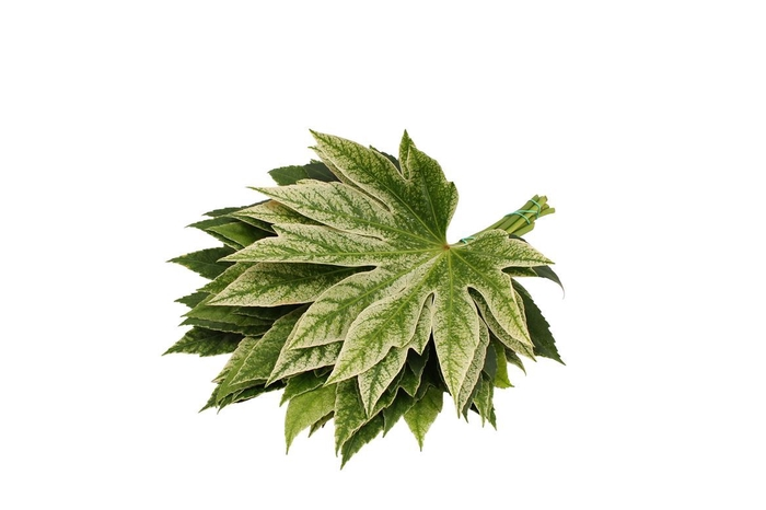 <h4>Aralia Spider ( 25 ) ( Medium )</h4>
