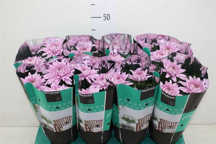 <h4>Chrysanth Zembla Rose</h4>
