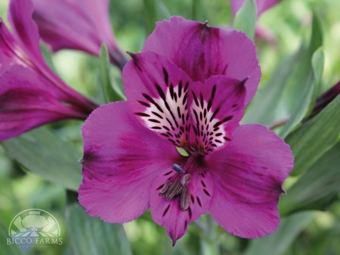 <h4>Alstroemeria morada select (BENCHMARCK)</h4>