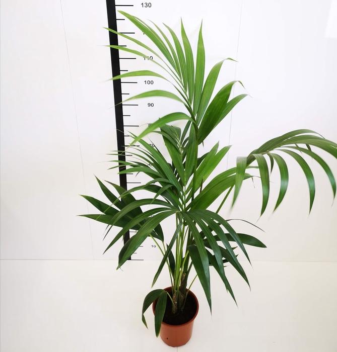 <h4>Howea forestiana</h4>