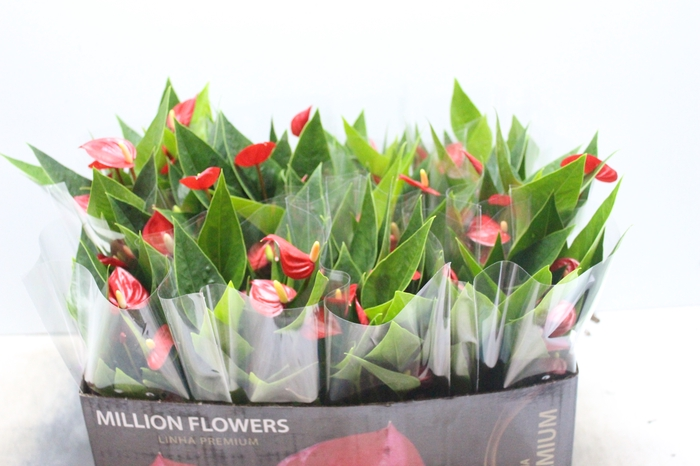 <h4>ANTHURIUM MINI MILLION FLOWERS P09</h4>