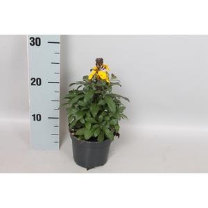 vaste planten 12 cm Erysimum Fragnant Sunshine