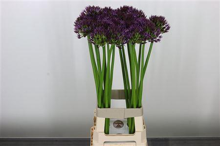 <h4>Allium Atlas</h4>