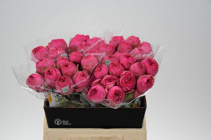<h4>Rosa grootbloemig Pink Piano Freiland</h4>