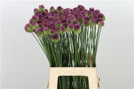 Allium Sphaerocephal