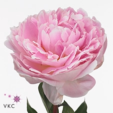 <h4>PAEONIA BOWL OF CREAM</h4>