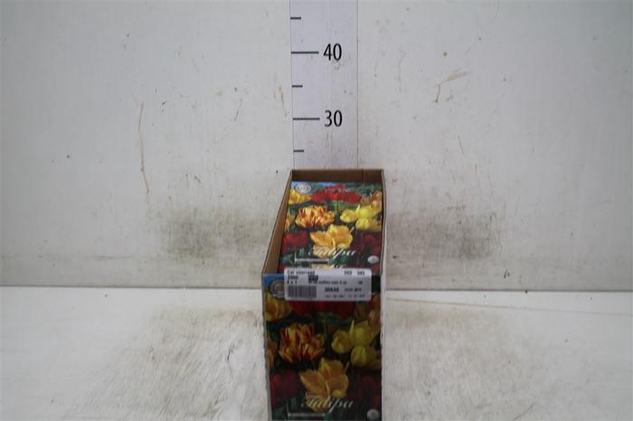 <h4>Bol Tulp Multiflora Mixed 10 Zakjes X7</h4>