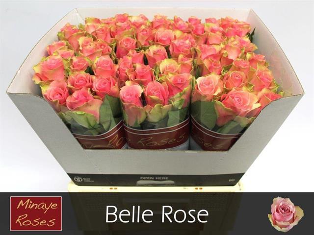 <h4>R GR BELLE ROSE</h4>