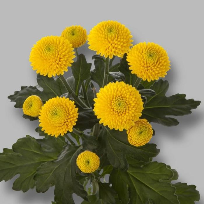 Chrysanthemum spray limoncello
